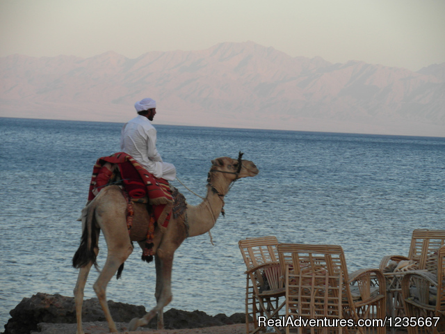 Camels, Sea and Beach negmasinai - Negma Bedouia RedSea vacation without mass tourism