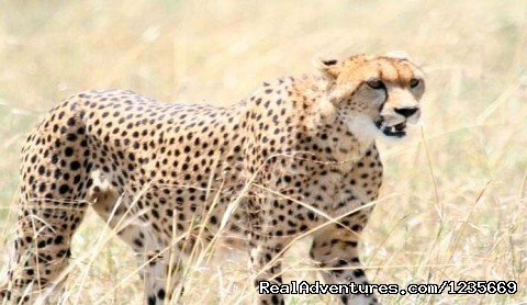 Kenyas Wildlife - Kenya Safari and Mountain Adventures