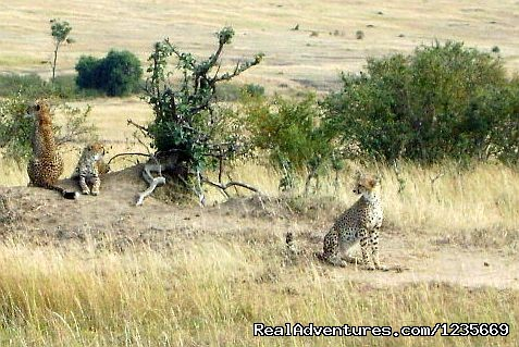 Spot wild Chettahs - Kenya Safari and Mountain Adventures