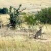 Spot wild Chettahs