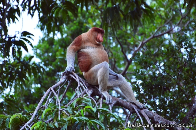 Wild Proboscis Monkey - Kalimantan Tour Guide