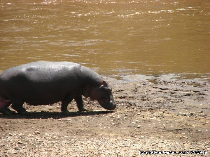 Hippos | Image #2/10 | Holiday  Getaways and Honeymoon Packages.