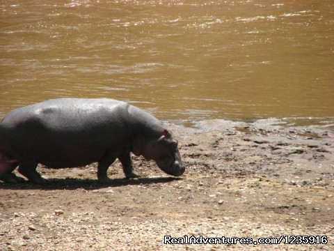 Hippos (#2 of 11) - Wildbeest Migration In Masai Mara