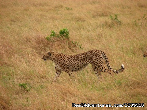 The  elusive leopard - Wildbeest Migration In Masai Mara