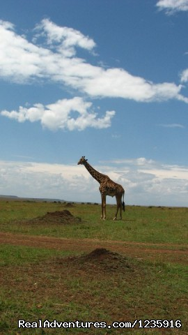 Tallest neck (#9 of 11) - Wildbeest Migration In Masai Mara