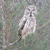The Great Grey Owl or Lapland Owl