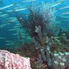 Borneo Dream - Scuba Diving in Kota Kinabalu,Sabah Diving with school of Barracudas in Pulau Tiga