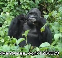 Gorilla Safaris Uganda and Rwanda: