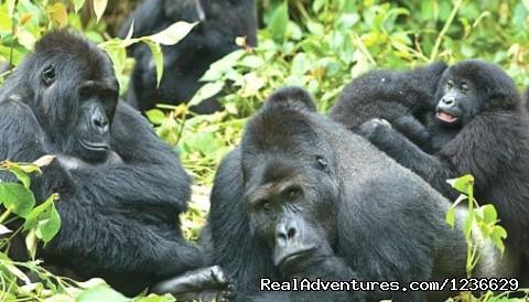 Image #2 of 8 - Gorilla Safaris Uganda and Rwanda