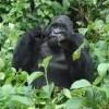 Gorilla Safaris Uganda and Rwanda Sight-Seeing Tours Kampala, Uganda