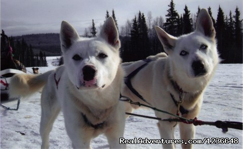 King and Ace, handsome brothers  - Sled Dog Adventures