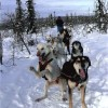 Sled Dog Adventures Fairbanks, Alaska Dog Sledding
