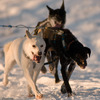 Alaskan Dog Sled & Horse Adventures Dog Sledding Adak, United States