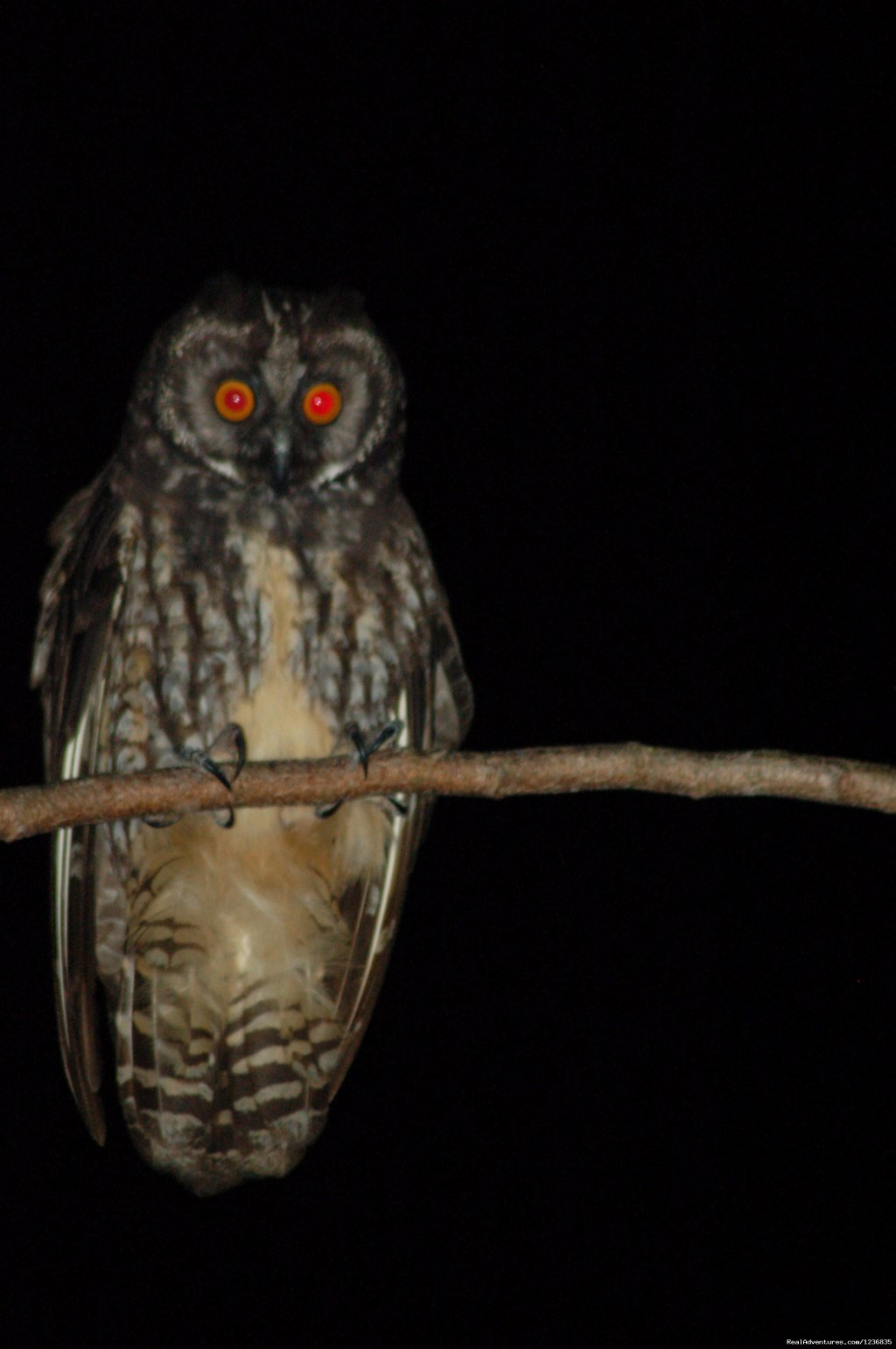 Stygian Owl | Image #3/11 | Down East Nature Tours