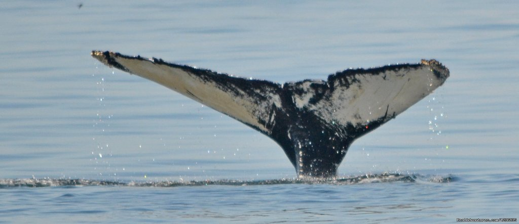 Humpback Whale | Image #8/11 | Down East Nature Tours