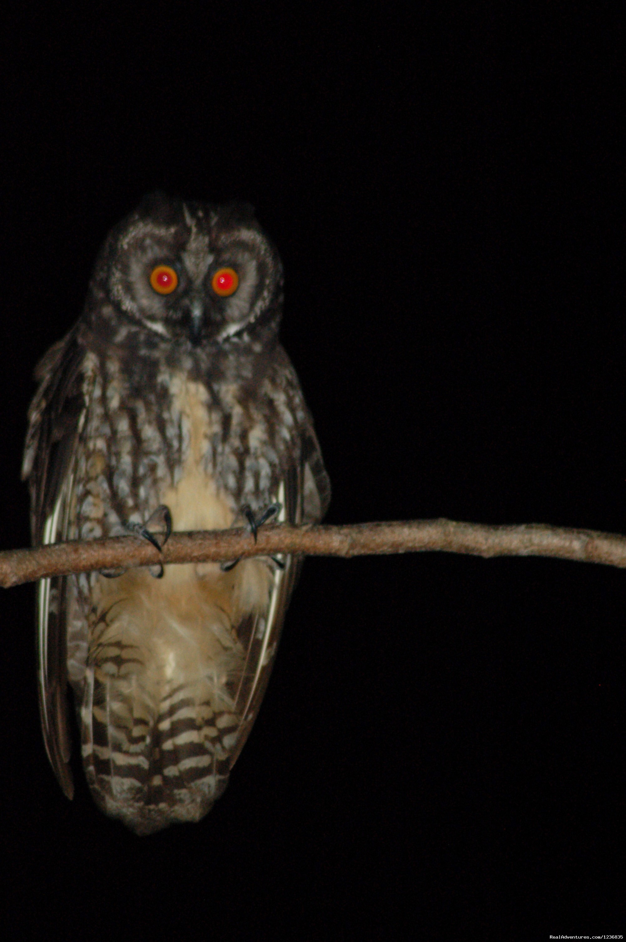 Stygian Owl | Image #3/12 | Down East Nature Tours