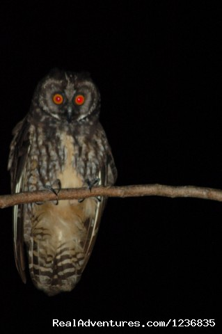 Stygian Owl - Down East Nature Tours
