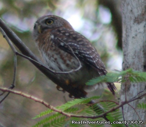 Cuba Pygmy Owl - Down East Nature Tours