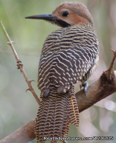 Fernandina's Flicker (#2 of 12) - Down East Nature Tours