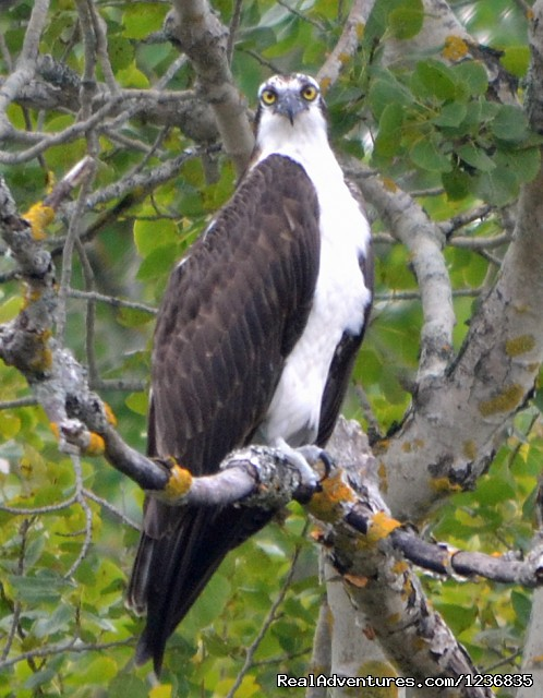 Osprey - Down East Nature Tours