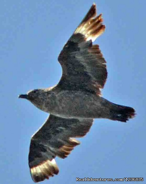 South Polar Skua (#7 of 12) - Down East Nature Tours