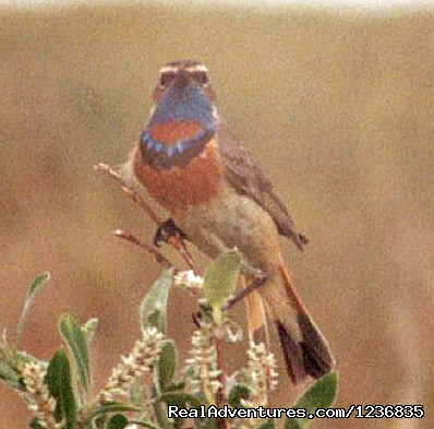 Bluethroat (#12 of 12) - Down East Nature Tours