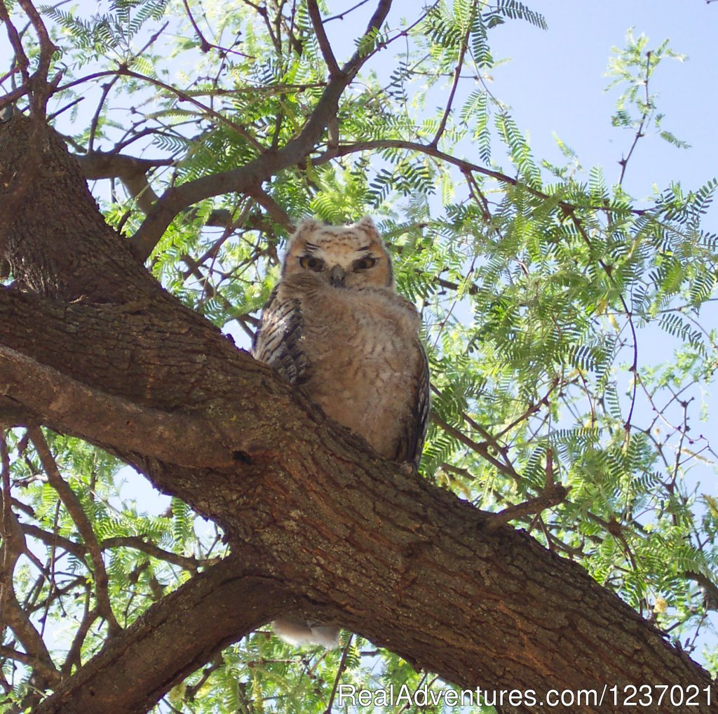 Great Horned Owls nest in our eucalyptus trees | Image #2/12 | Romantic Getaway at Historic Arizona Guest Ranch