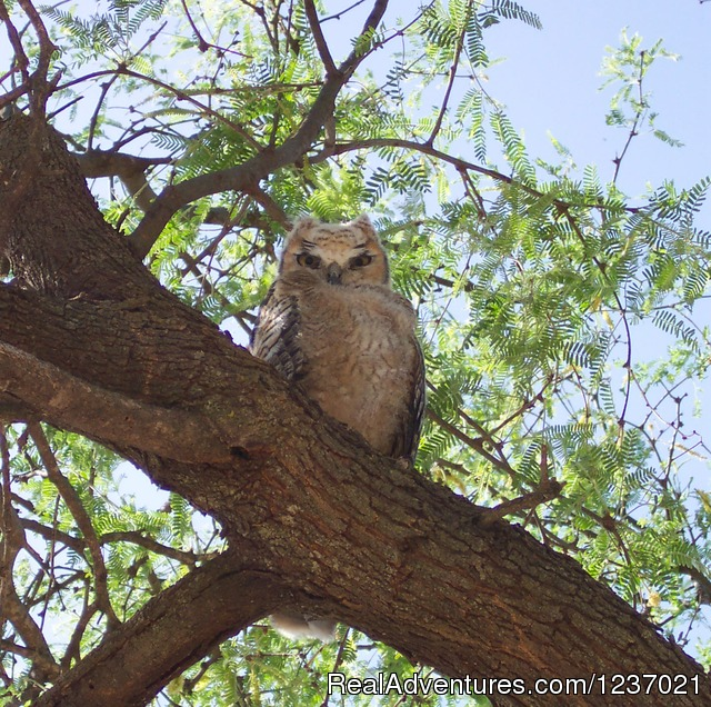 Great Horned Owls nest in our eucalyptus trees - Romantic Getaway at Historic Arizona Guest Ranch