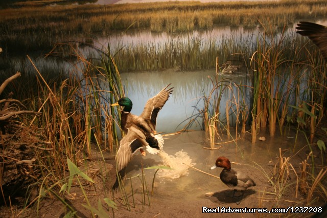 Bringing Back Wildlife Wetland Exhibit - International Wildlife Museum