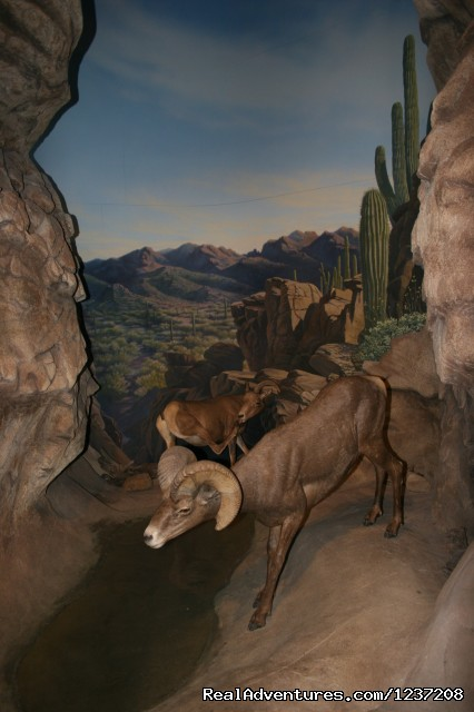 Bighorn Sheep Exhibit - International Wildlife Museum