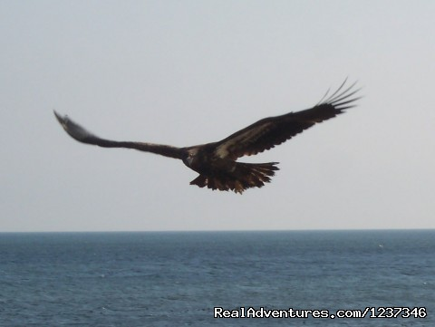 Bald Eagle - Paradise On The Sea Adventures