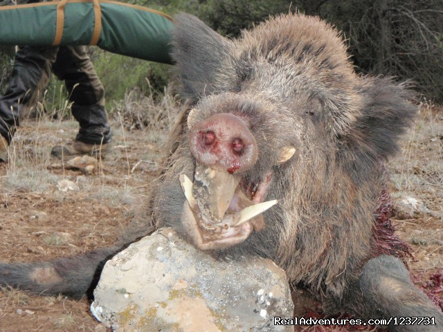 Wildboar Keiler Jabali - Hunting Trips to Spain