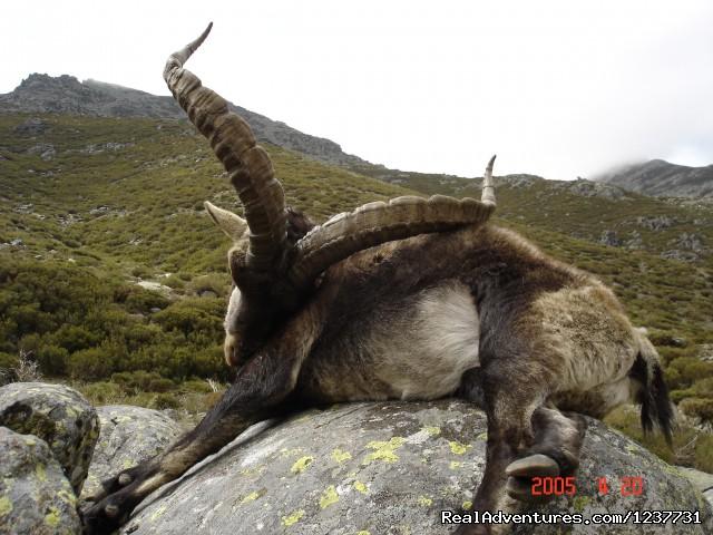 Gredos Ibex Steinbock Gredos Mach de Gredos - Hunting Trips to Spain