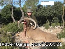 Arrui Aoudad Sheep Mähnenspringer - Hunting Trips to Spain