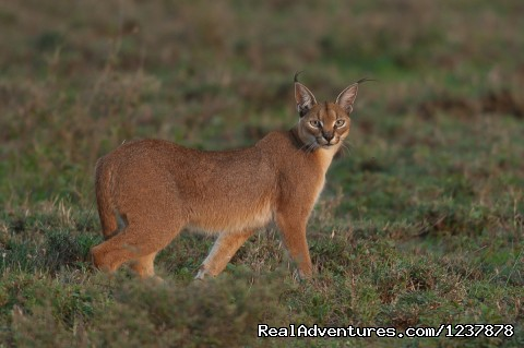 Caracal on the Serengeti plain - Maasai Wanderings- The Great Migration