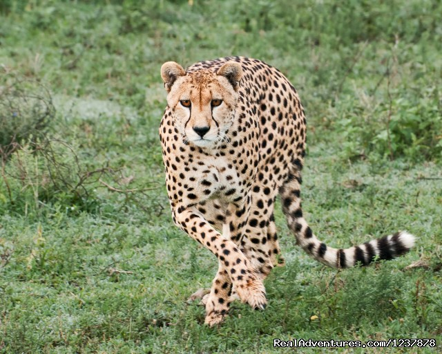 Cheetah in the Serengeti - Maasai Wanderings- The Great Migration