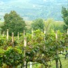 Vineyards in Prosecco