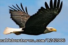 Bald eagle soaring above - Travel to Alaska: The Inside Passage