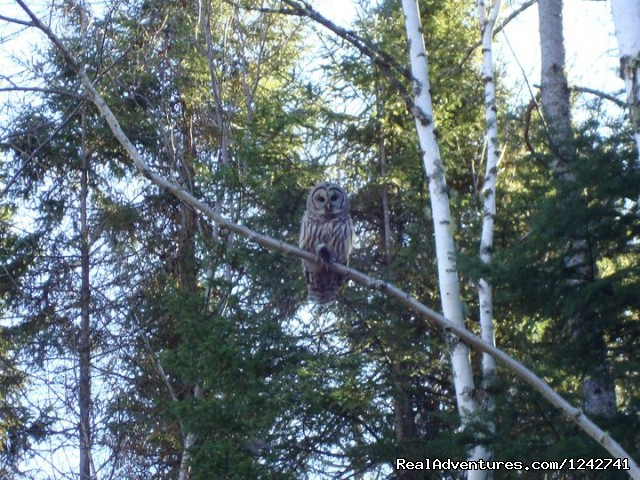 Owls - View Northern Maine's Boreal Species