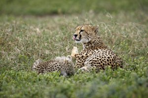 5 Nights 6 Days Classic Lodge Safari in Tanzania Arusha, Tanzania Wildlife & Safari Tours