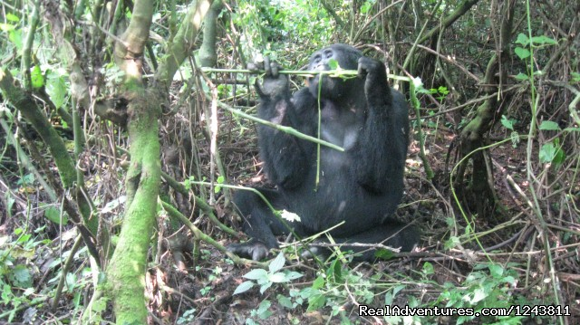 Track the giant gorillas for great adventures (#1 of 7) - Explore wilds of Uganda the best in Africa