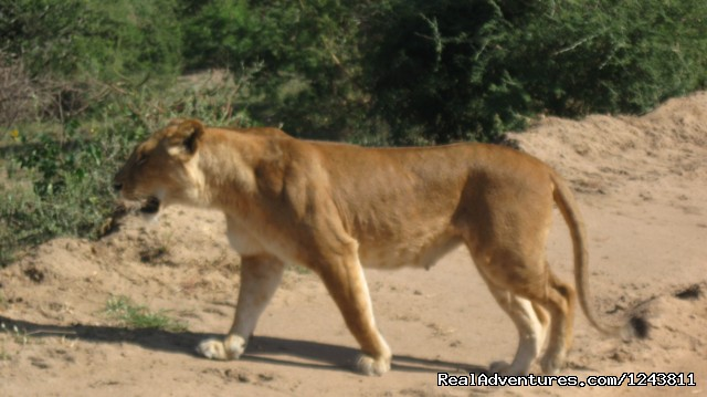 Lions in the wilderness - Explore wilds of Uganda the best in Africa