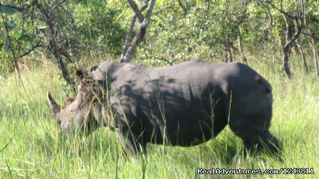 Rhinos in Ziwa breeding sanctuary (#6 of 7) - Explore wilds of Uganda the best in Africa