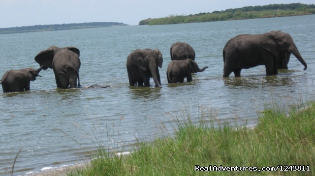 Herd of Elephants - Explore wilds of Uganda the best in Africa