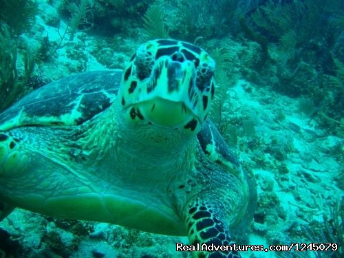 Hawksbill turtle - Diving on remote Caribbean island in Belize