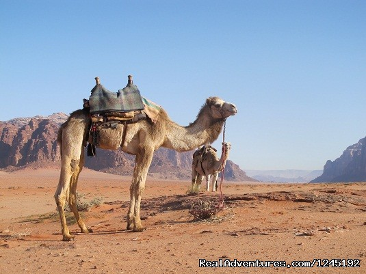 Badia Tours & Stables - Camels in Wadi Rum desert (#3 of 25) - Horseriding in Wadi Rum Desert with Arabian horses