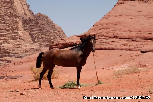 Badia Tours & Stables - Arabian Horse (#6 of 25) - Horseriding in Wadi Rum Desert with Arabian horses
