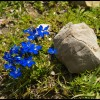 Alpine Gentian on Monte Morrone