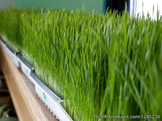 Fresh, Organic Wheatgrass - Fresh Start | Health & Lifestyle Transformation