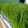 Fresh, Organic Wheatgrass